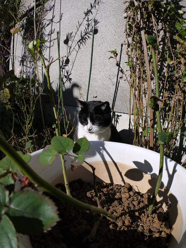 花壇の黒白猫1