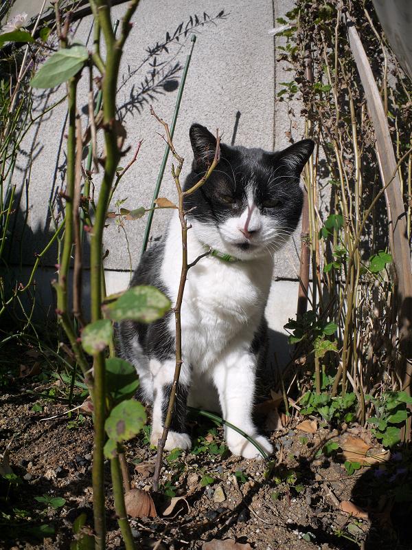 花壇の黒白猫2