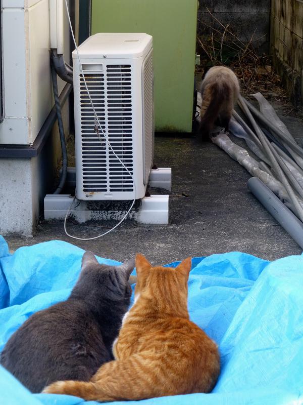 民家資材置き場の猫たち3