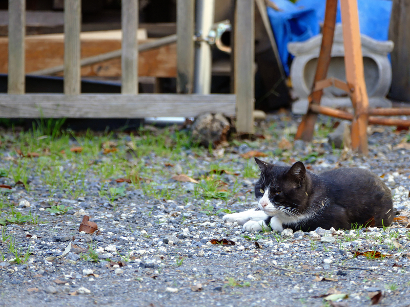 砂利駐車場の猫2