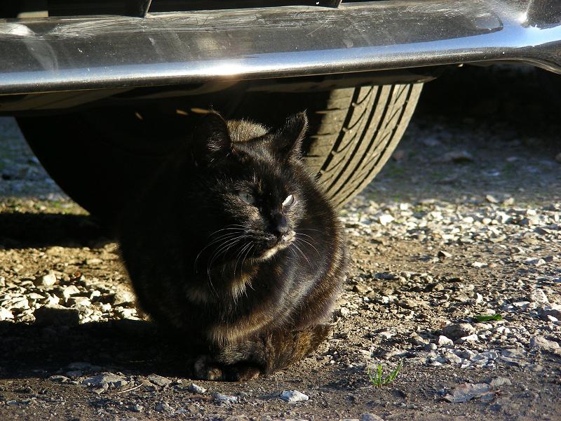 黒光りする黒猫1