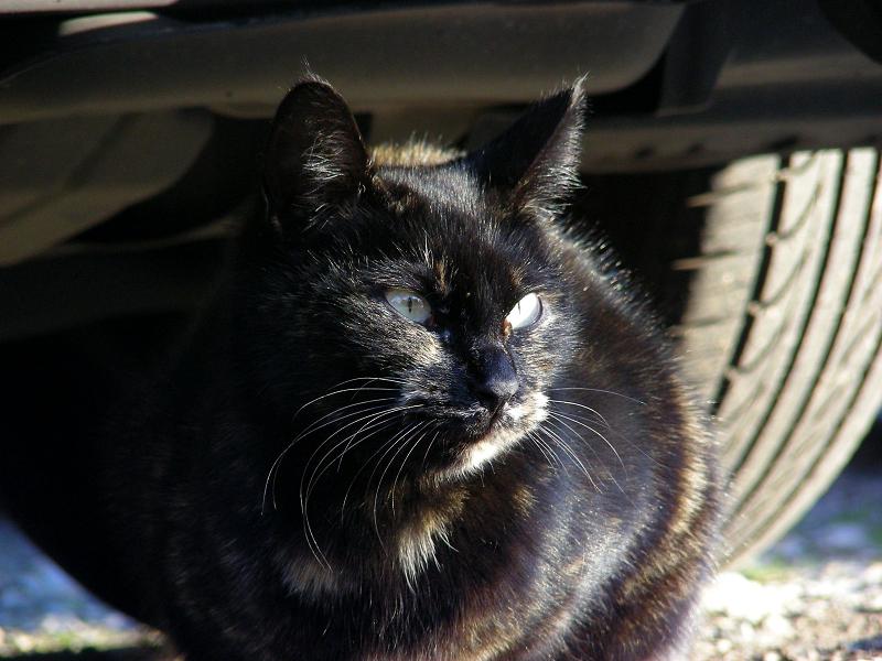 黒光りする黒猫2
