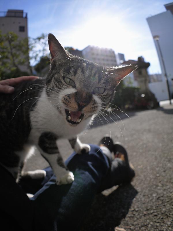 逆光の中で膝に乗るキジ白猫1