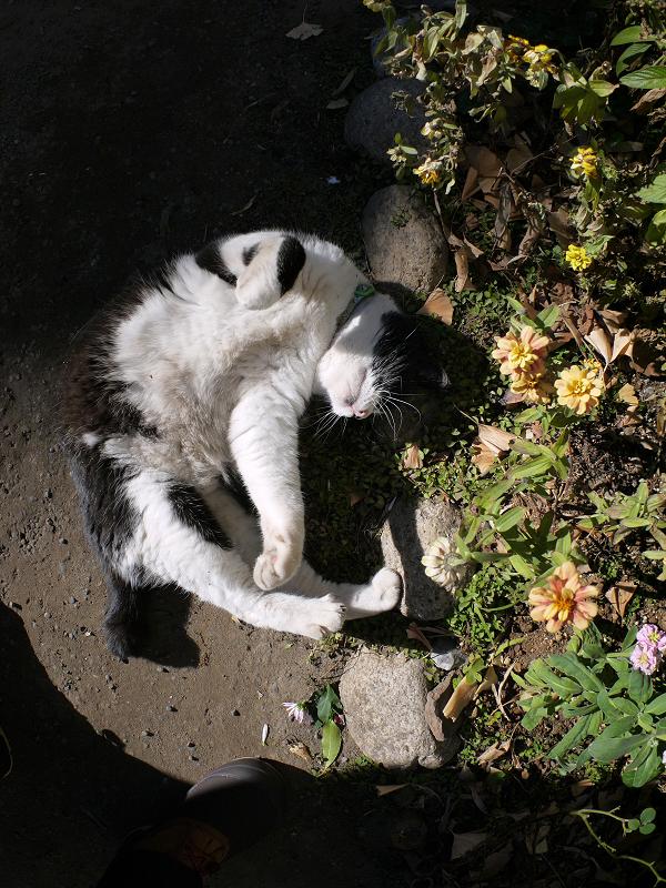 花壇の横で転がる黒白猫4