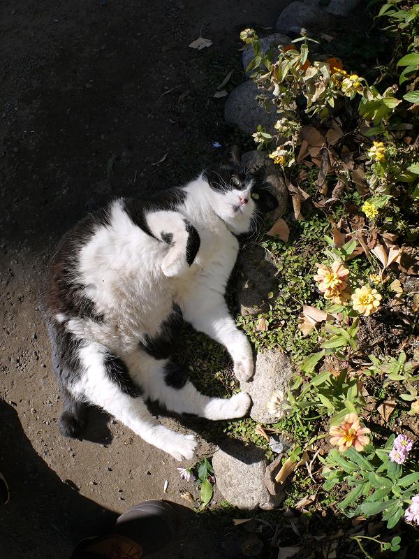 花壇の横で転がる黒白猫5