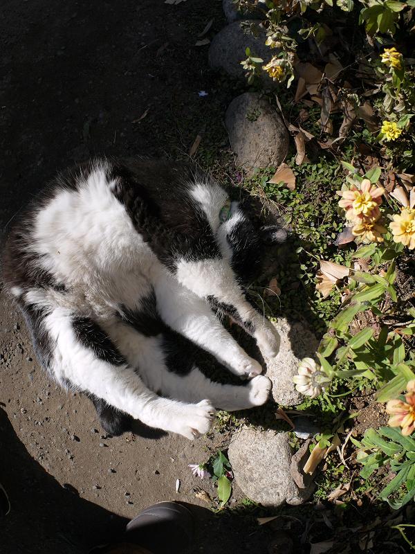 花壇の横で転がる黒白猫6