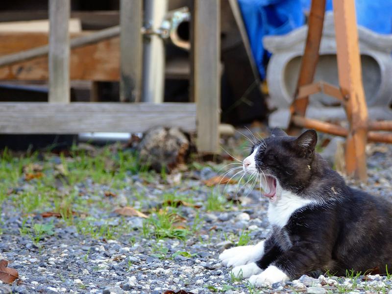 お寺砂利駐車場の猫1