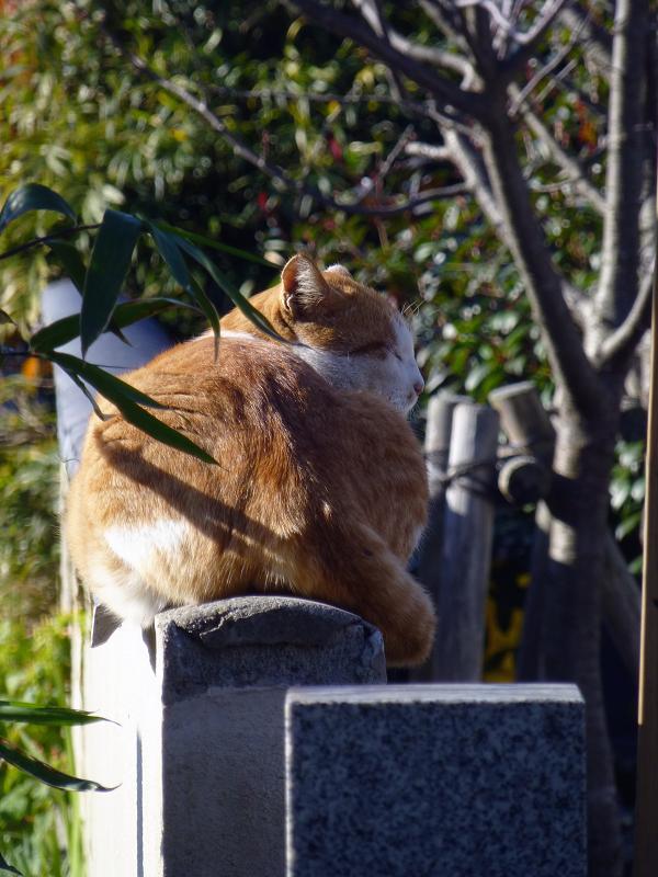 墓石上の茶白猫1