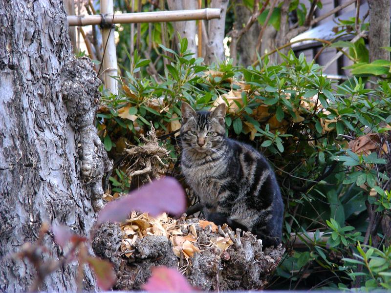 茂みのアメショー猫1