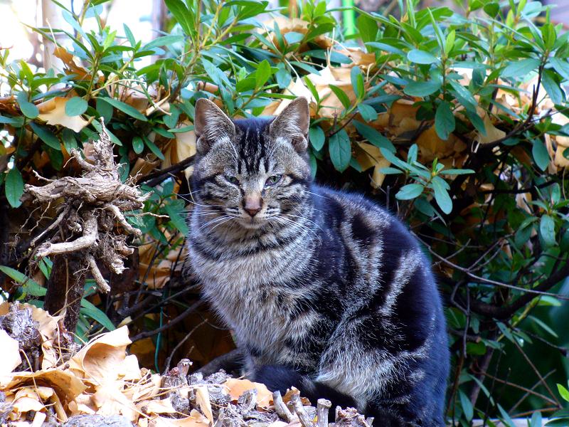 茂みのアメショー猫2