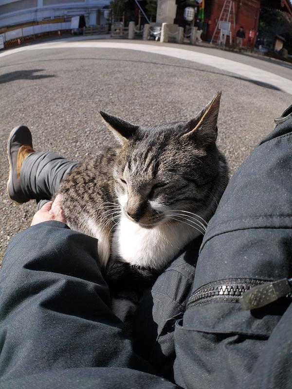 陽射したっぷりの中膝で寝てるキジ白猫1