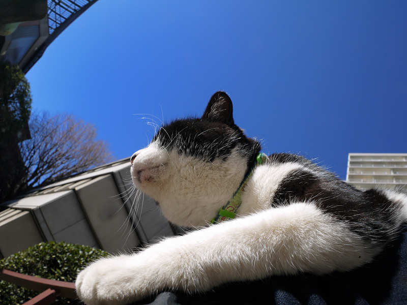 青空の下で膝に乗る黒白猫1