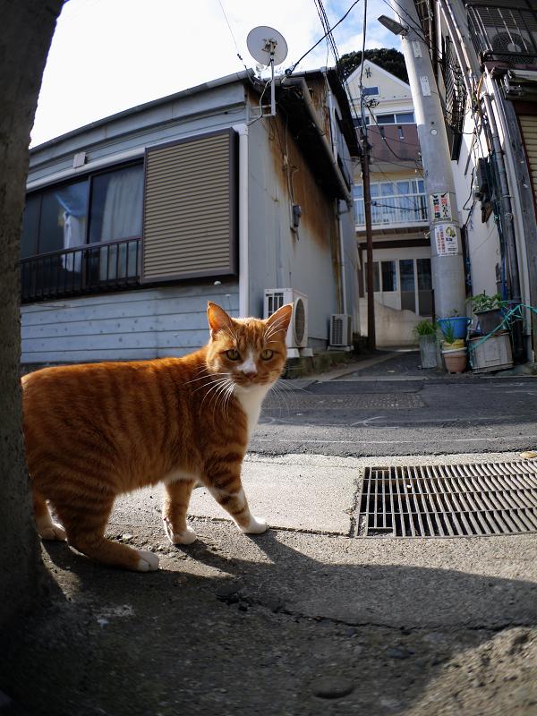 路地の茶トラ猫1