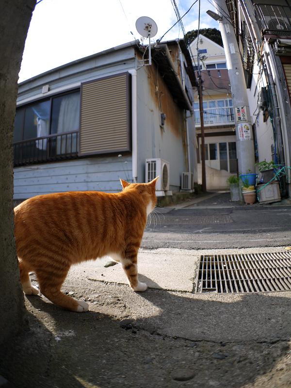 路地の茶トラ猫2