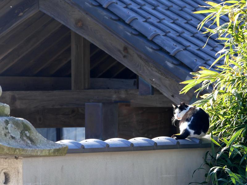 塀瓦と白キジ猫1