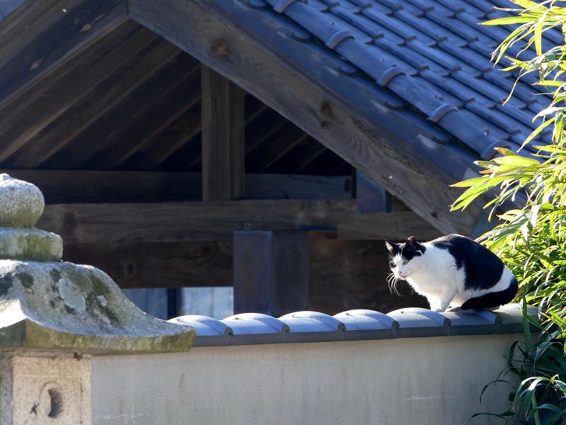 塀瓦と白キジ猫2