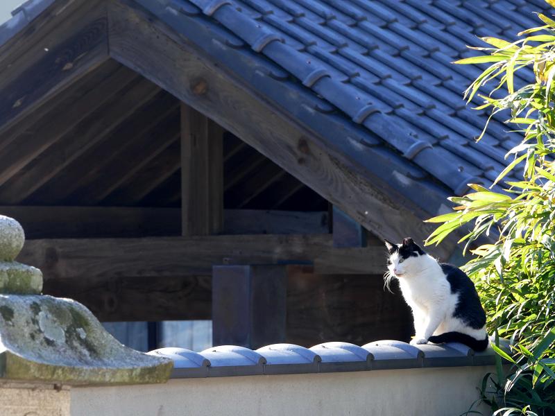 塀瓦と白キジ猫3