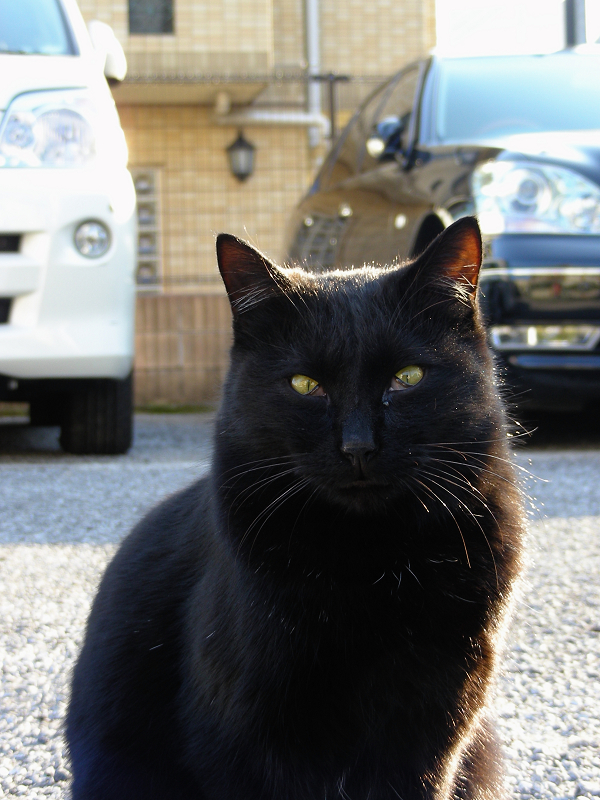 駐車場黒猫のアップ1