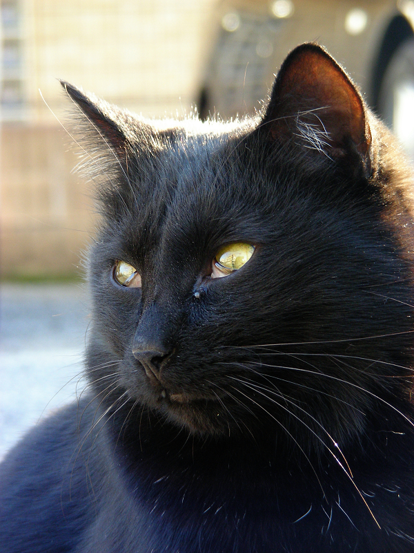 駐車場黒猫のアップ2