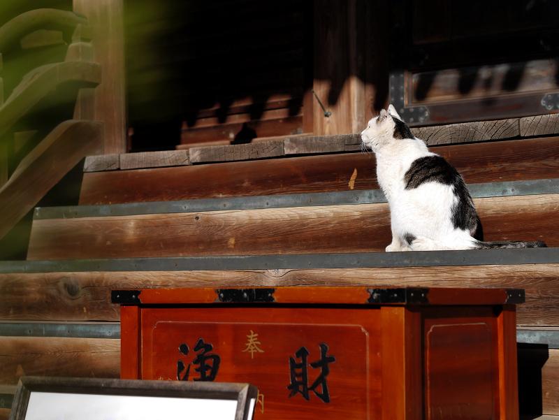 古堂の階段にいた白キジ猫1