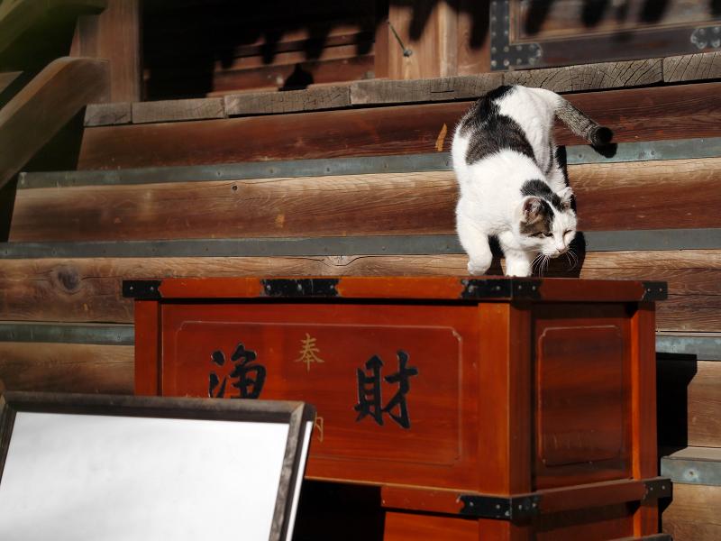 古堂の階段にいた白キジ猫4