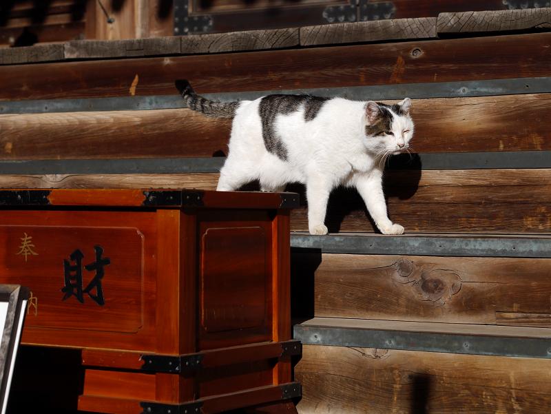 古堂の階段にいた白キジ猫5