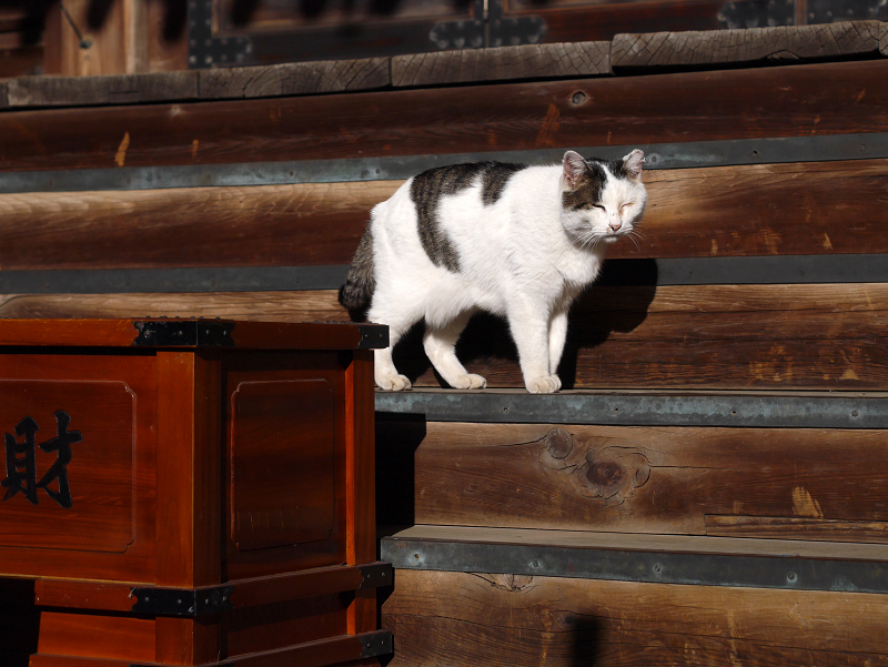 古堂の階段にいた白キジ猫6
