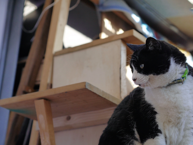 ハウス前の黒白猫1