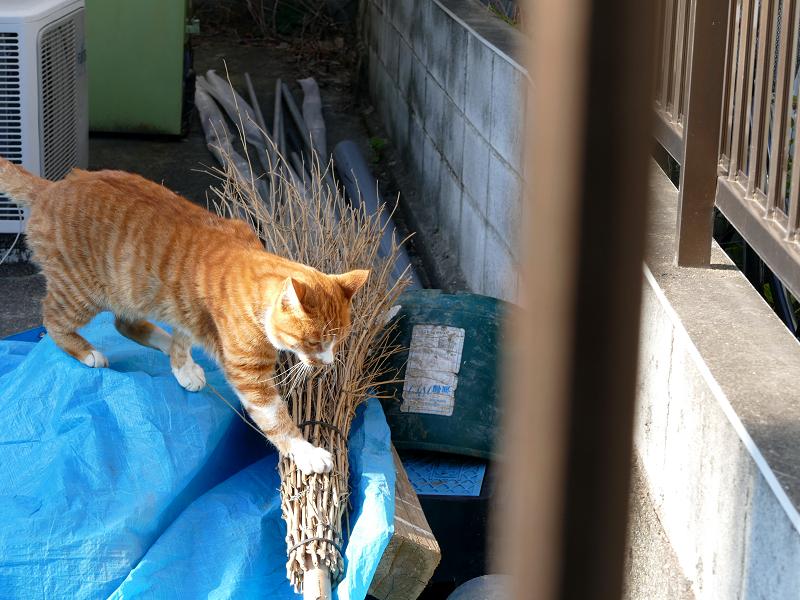 松葉箒と茶白猫1