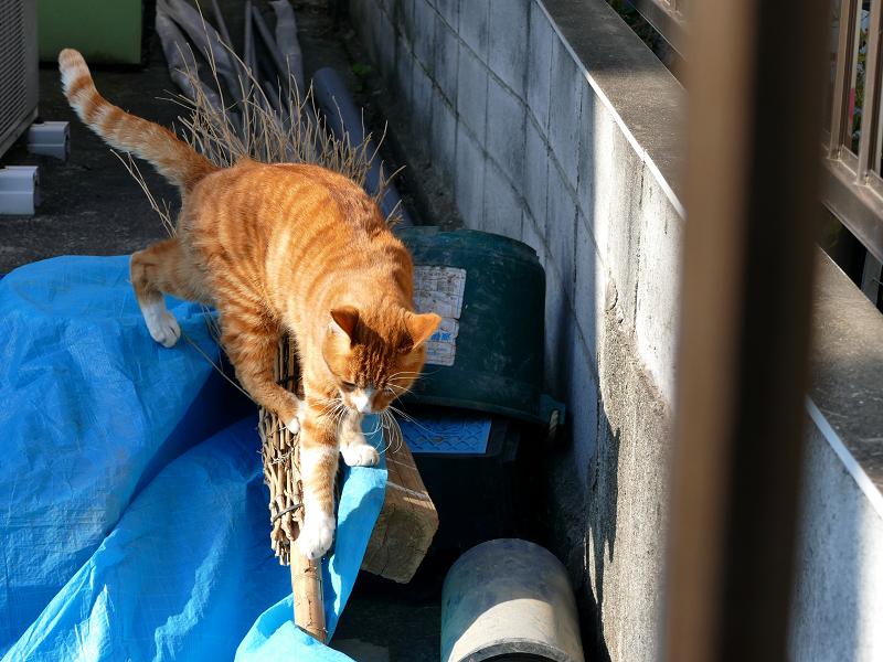 松葉箒と茶白猫2