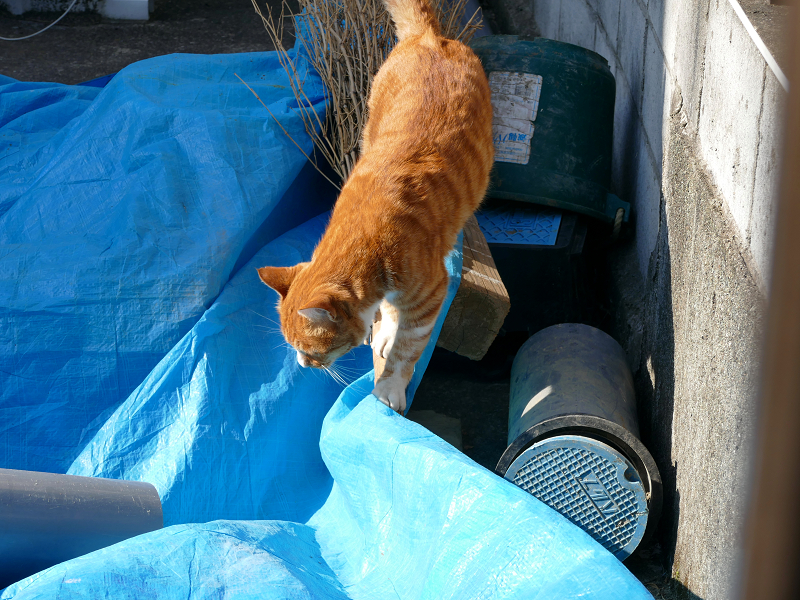 松葉箒と茶白猫3
