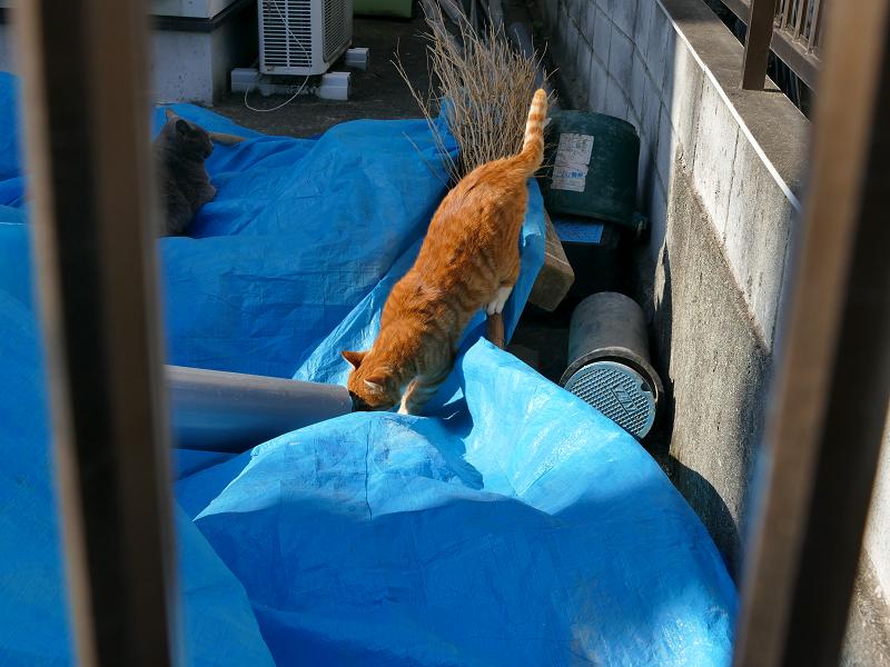 松葉箒と茶白猫5