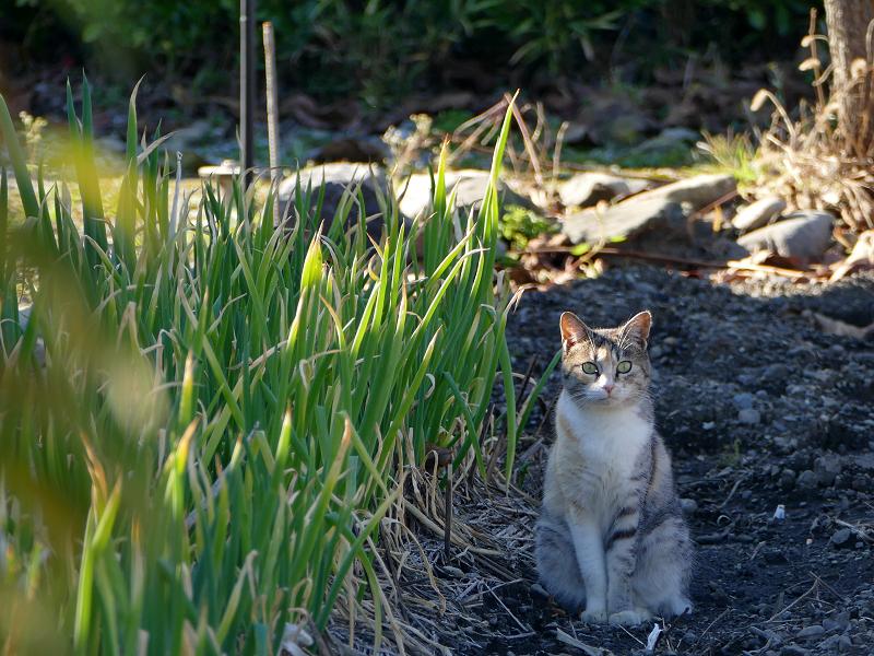 葱畑の三毛猫1