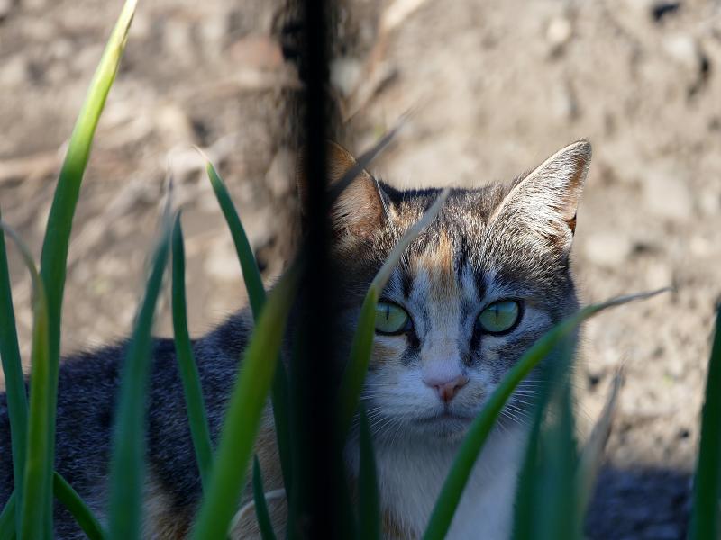 葱畑の三毛猫2
