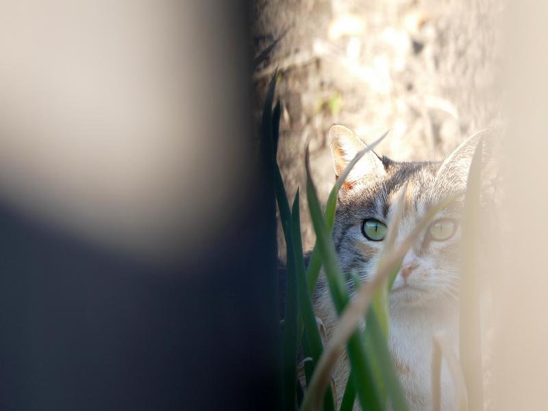 葱畑の三毛猫3