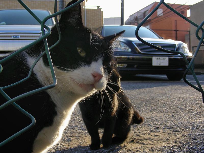 コインパーキングの黒白猫1