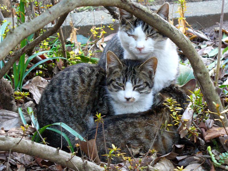 植込みのキジ白猫たち2
