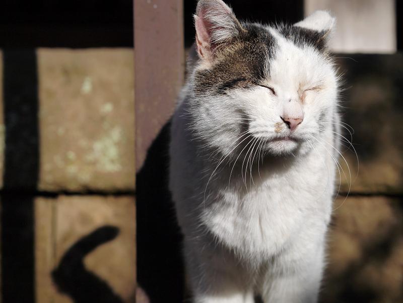 陽射しの中の白キジ猫1