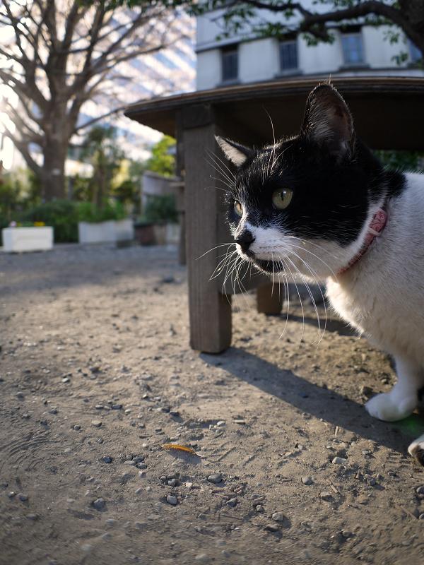 境内ベンチの白黒猫1