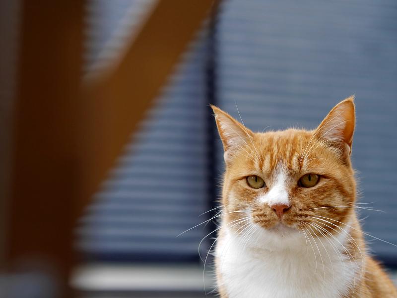 覚めた視線の茶白猫1