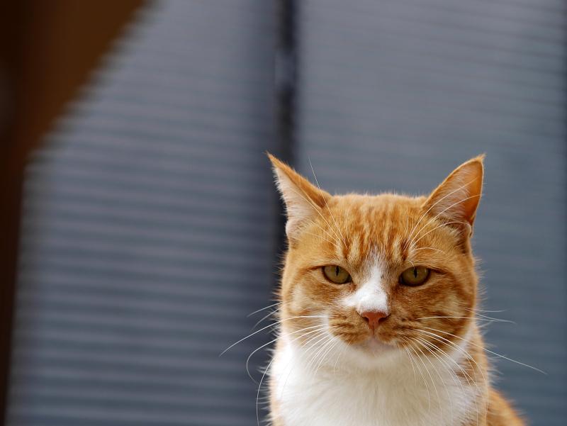 覚めた視線の茶白猫2
