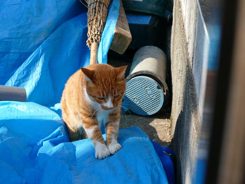 ブルーシートを歩く茶白猫4