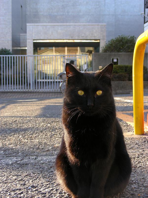 駐車場の黒猫たち2