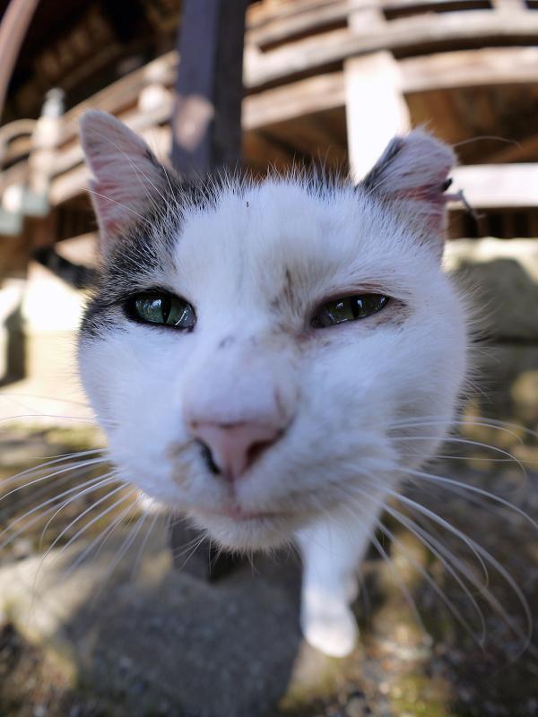 鳴きながら近づくキジ白猫2