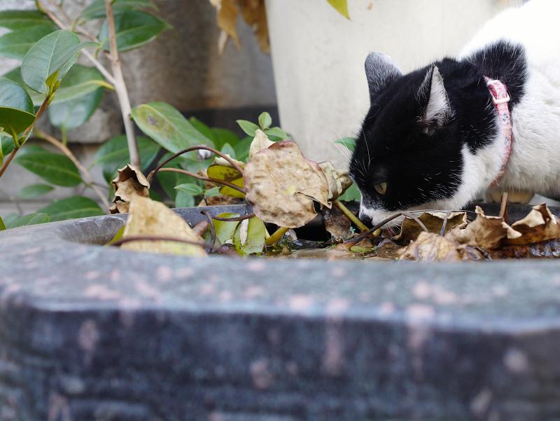 水鉢で水を飲む白黒猫1