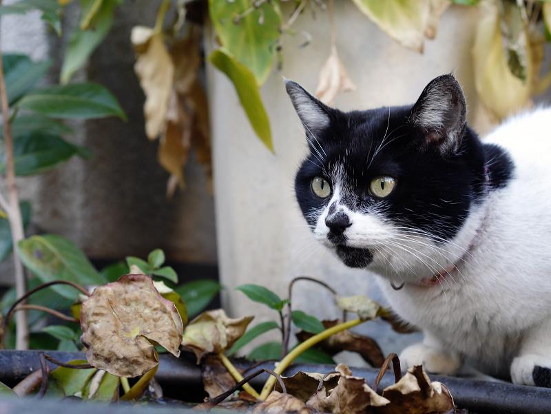 水鉢で水を飲む白黒猫2