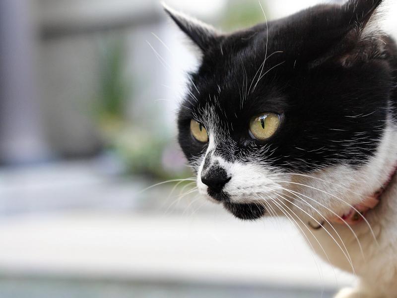 水鉢で水を飲む白黒猫3