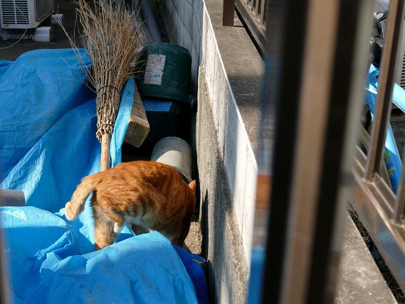 ブルーシートを潜る茶白猫1