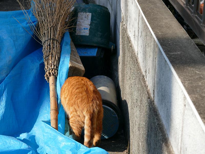 ブルーシートを潜る茶白猫2