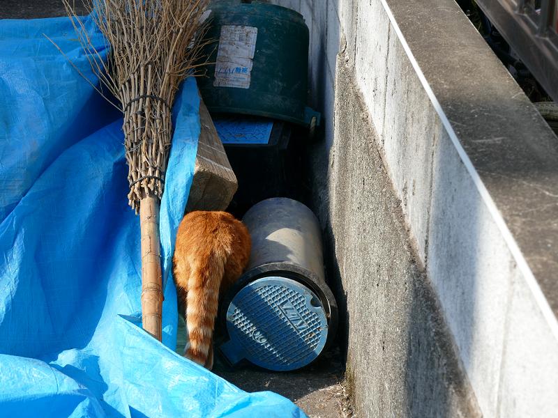 ブルーシートを潜る茶白猫3